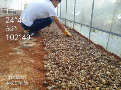 黄精种植就找中农研究,与农科院战略合作,黄精种植技术好