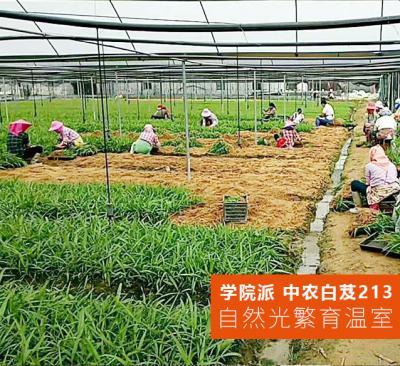 中农213白芨种苗-中农研究院白芨种植基地