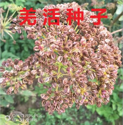 甘肃产地生长三年羌活产的种子 颗粒饱满 无杂质 发芽率高