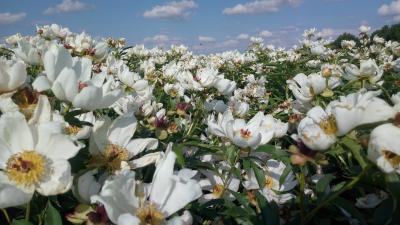 赤芍种子赤芍苗价格低内蒙基地批发量大