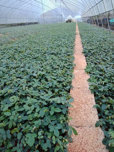 山豆根苗山豆根种子山豆根价格山豆根种植技术