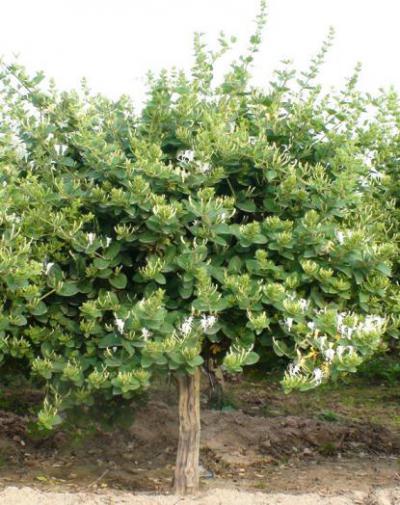 树型金银花 金银花品种 金花3号1-3年苗
