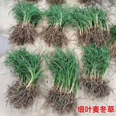 出售麦冬苗量大,宽叶紫花