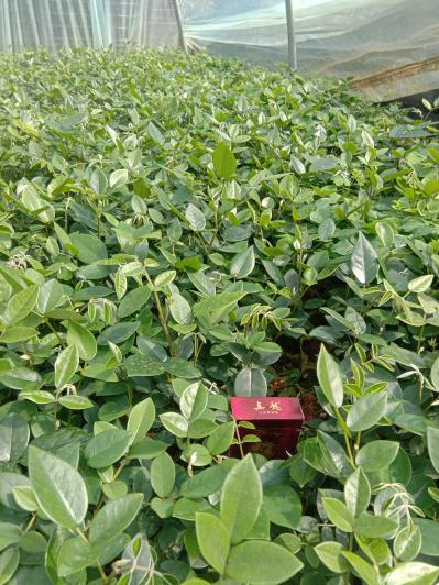 山豆根种植出售