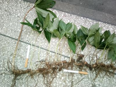 滇重楼1-4年纯野生种苗(安徽大别山地区)