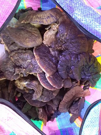 出国劳务从老挝老乡手里购买的灵芝