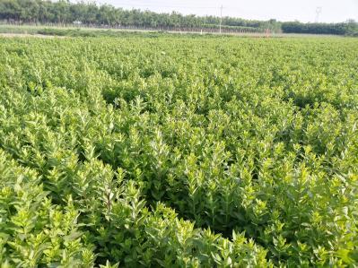 桔梗一年秧苗