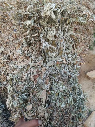 艾草全颗现有一批(几百亩)艾草,等待买家来回收