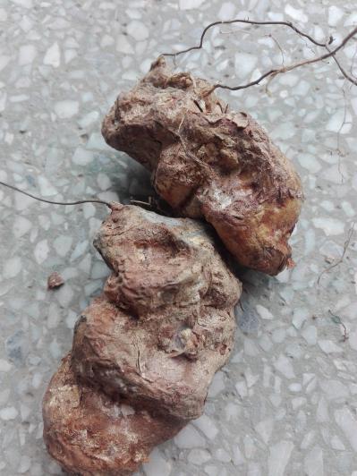 长期供应土茯苓