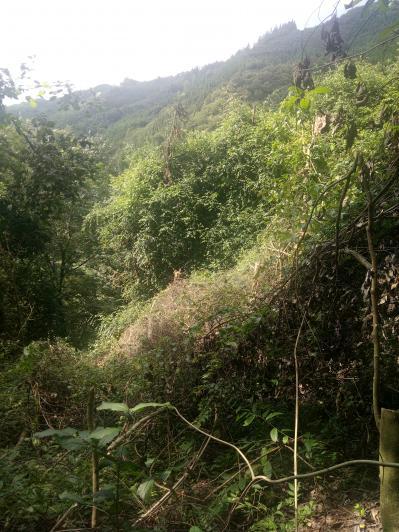 大山里的野生钩藤