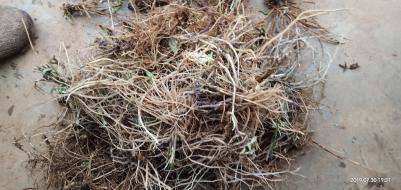 新挖的野生龙胆草求收购