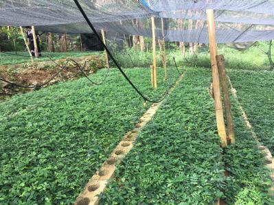 广西那坡大量出售优质山豆根苗山豆根种子
