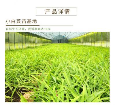 贵州三叉小白芨种苗 块茎1.5公分以上