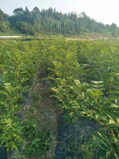 出售吴茱萸种苗以及果实,价格优惠,可先发送样品或者现场参观