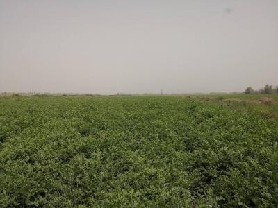新疆100亩红皮甘草出售