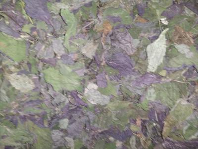 紫苏叶 苏叶