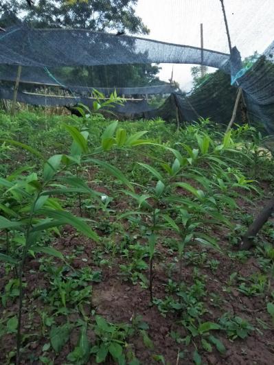 长期供应黄精种苗,茎块