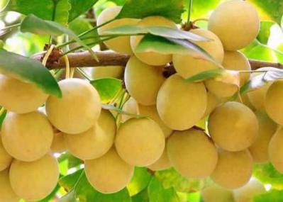 百棵百年白果树白果(银杏)