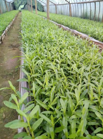石斛种苗、赤水金钗石斛1-2年小苗,兜苗分芽繁殖
