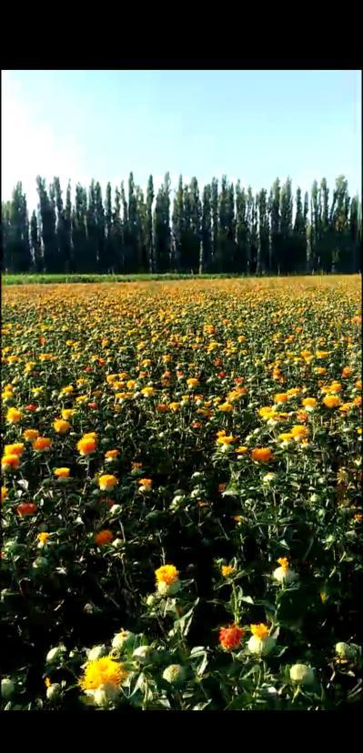 新疆伊犁地区红花,自己家种的,有一吨左右,我小姨家的一共两三吨左右