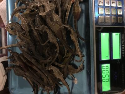 海马大量,自家渔船捕捞