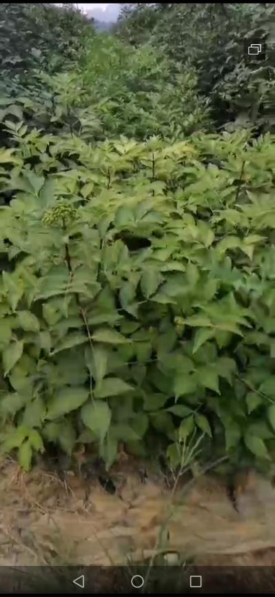 柳城寨隆方向大量正宗江西品种吴茱萸中花种苗供应,开始接预订,靠信誉吃饭,可到基地看苗