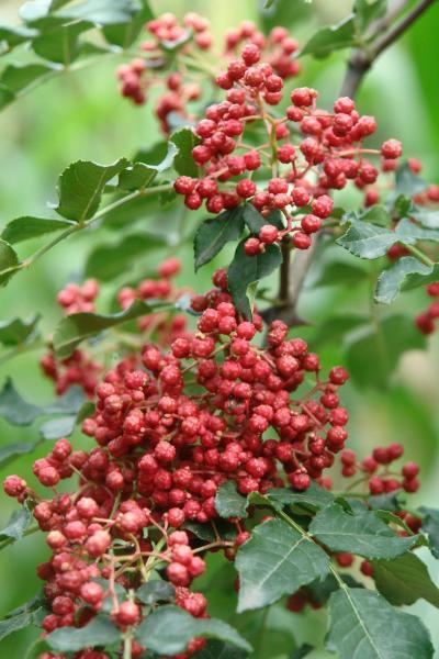 出售全世界最优质的甘肃陇南文县梅花椒、大红袍、青花椒、叶里蔷等花椒品种