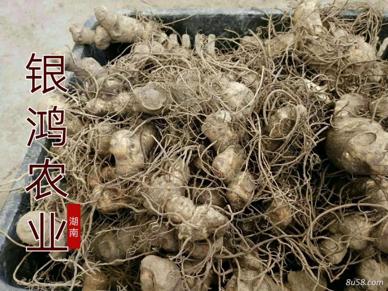 黄精玉竹药材——促发展谈合作,银鸿农业市场深耕耘