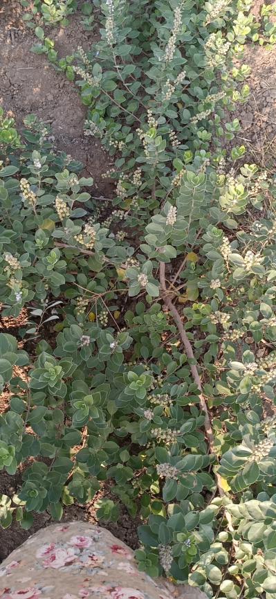 优质蔓荆子种苗