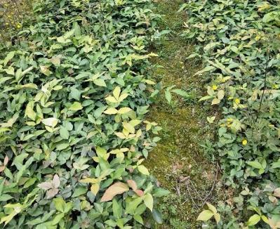 贵州阔叶十大功劳木苗批发,种苗株高30公分以上,种植简单,适合退耕还林,石漠化治理种植