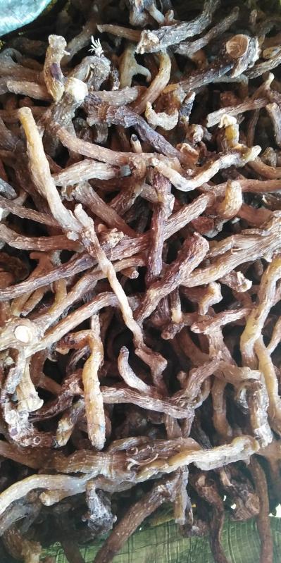自家种植的药材玉竹