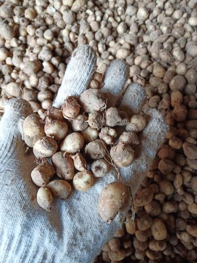 旱半夏种子!!!山东菏泽产地第二代旱半夏种子直销,好管理产量高,质量绝对有保证。