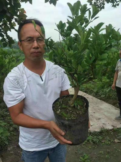各种中药材种植,川佛手种苗,经济观光林木