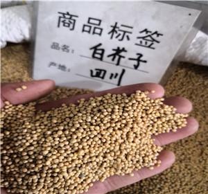 子类中药材产地直销白芥子 白芥子一斤多少钱