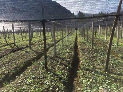 大量出售滇红花高杆黄精1年种苗(一手基地货源)