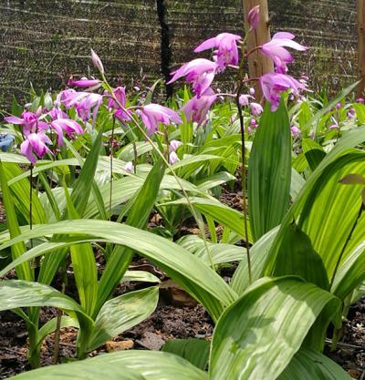 有紫花三叉白芨鲜货6—8吨