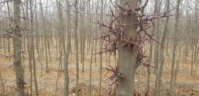 供应皂角树,9亩地的皂角树共10000棵左右,种植了4年,树直径5~8cm