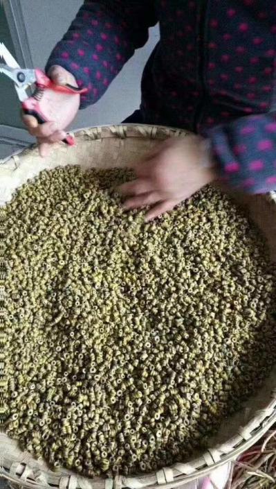 正宗霍山石斛价格5年顶级铁皮石斛自家种植自产自销