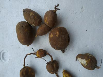 野生金榄果