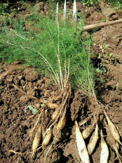 广西天冬苗,天冬种苗种植户,品质好,产量高