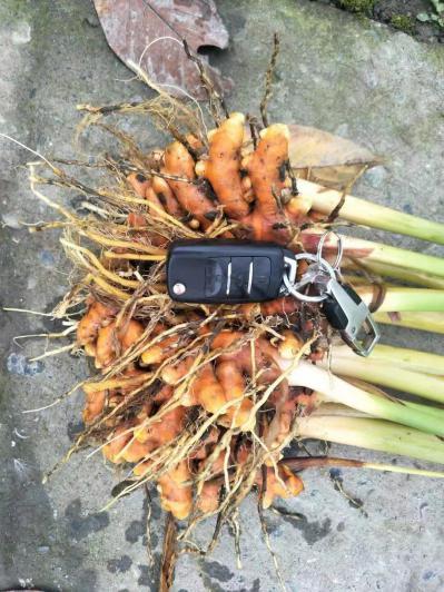 姜黄种苗基地直供   姜黄种植技术   姜黄加工