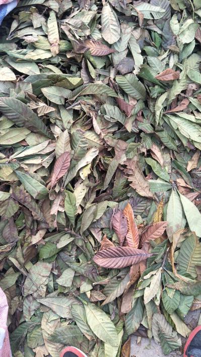 大量出售枇杷叶,黄叶,青叶,干货不发霉