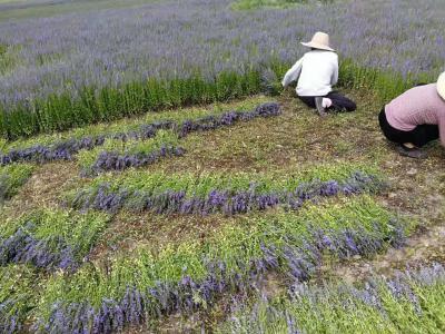 本人常年种植中草药半枝莲,目前规模360亩