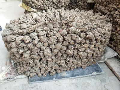 甘肃甘南州农家种植无硫当归,品质好,安全放心。支持各种物流方式。(期待药厂,商人等合作伙伴)