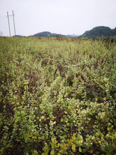 江西蔓荆子苗20万株出售