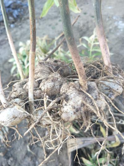 中药材姜型黄精块茎种