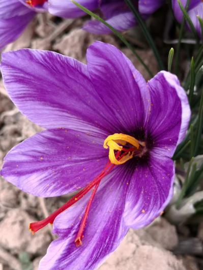 西红花藏红花番红花红花