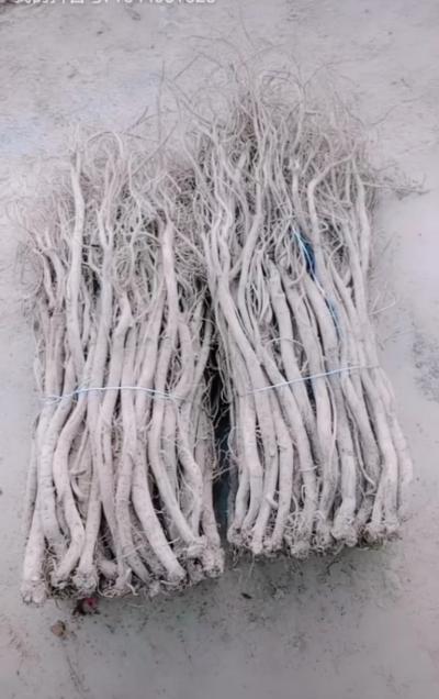普片川牛膝已经在大量栽植,有需要的可以提前预定了