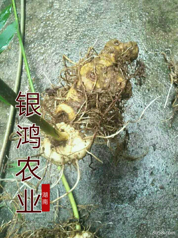 黄精种苗供应,种茎不低于1.5公分
