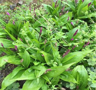 供应紫花白芨种苗中药材三叉戟白芨苗子
